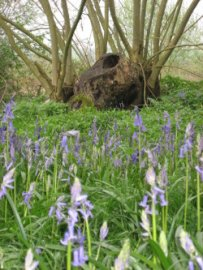 Bluebells and ash coppice stool