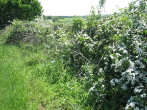 The 'back' of a laid hedge, May
