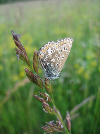 Common blue butterfly, June