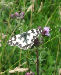 Marbled white on creeping thistle