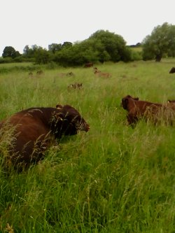 Wassledine Red Poll cattle in a sea of grass