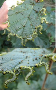 hazel sawfly larvae on hazel leaf