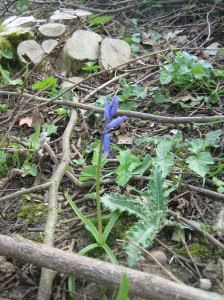 one colonising bluebell
